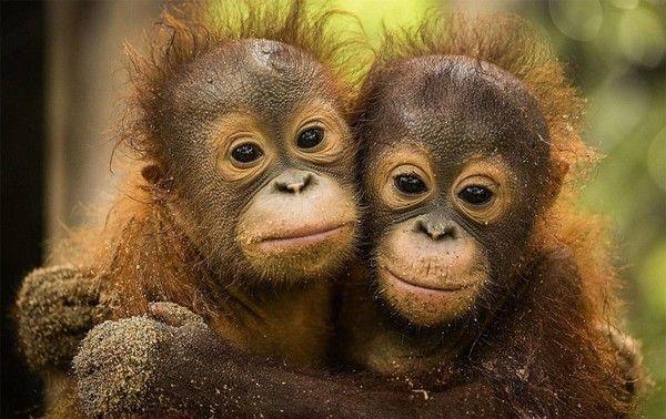 Gut gemocht orang outans HW23