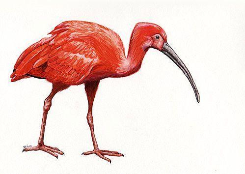 L'ibis